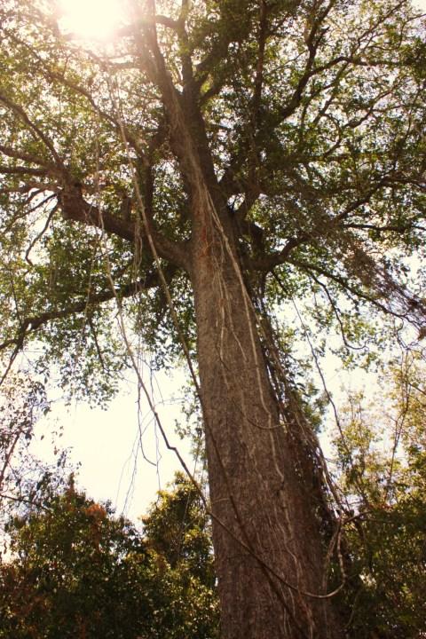 Árbol del ceibo, simbolo de la esperanza y la fraternidad