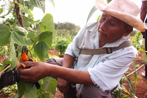 Campesino maya, muestra como los pájaros afectan sus cosechas debido al cambio climático