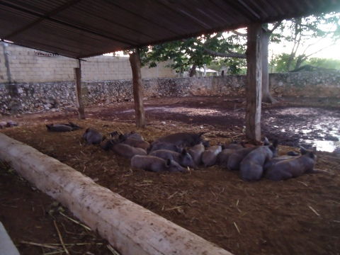 cerdo pelón 9